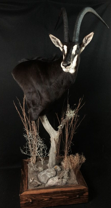 Safari Life Taxidermy - Water Buffalo
